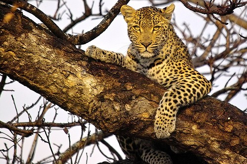 leopardo en el arbol by arno & louise